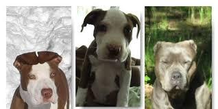 american pitbull terrier z hter deutschland petition prevent a discriminating ban against pitbulls in medford or