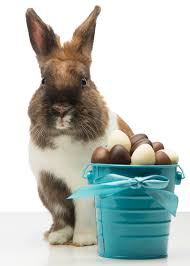 chocolate rabbits can bunnies eat chocolate and what to do if he does