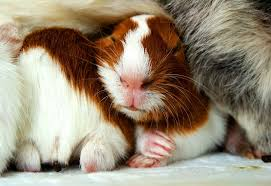 guinea pig wallpaper animals town