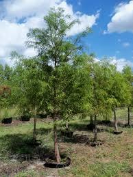 homeowners calusa creek florida wholesale tree farm