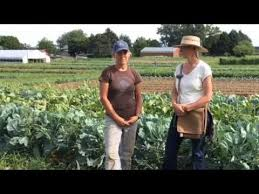 cover crops as living mulch under vegetables claire strader wi