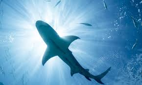 sharks howstuffworks