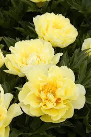 yellow peonies bartzella itoh peony monrovia bartzella itoh peony