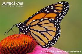 monarch butterfly photo danaus plexippus g54406 arkive