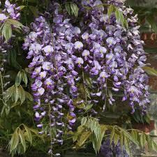 climbing plants clematis wisteria ceanothus ornamental trees ltd