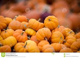 small pumpkins many small pumpkins stock photo image 34396420