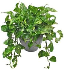 Indoor House Plants Low Light 43 Best House Plants Low Light Images On Pinterest Indoor