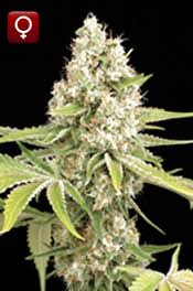 highgrade seeds highest quality marijuana seeds online