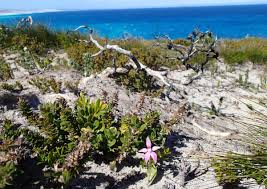 diuris corymbosa common donkey orchid fairy u2013 wa orchid adventures
