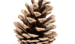 white pine cone pine cone fire starters u2013 chesterfield lifestyle magazine