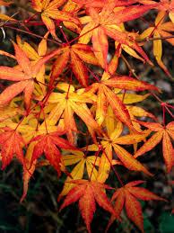 japanese maple photos hgtv