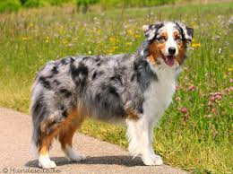australian shepherd height best dog breeds