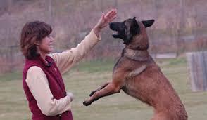 belgian shepherd how to train leerburg the theory of corrections in dog training