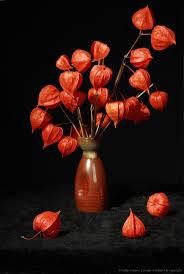 lantern flower 42 best japanese lantern flower images on