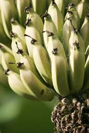 best 25 banana plants ideas on grow banana tree how