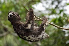 bats and sloths don u0027t get dizzy hanging upside down u2014here u0027s why