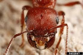 Ants In Backyard Backyard Gardener Harvester Ants April 24 2013