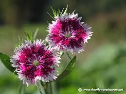 dianthus flower dianthus pictures dianthus flower pictures