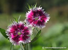 dianthus pictures dianthus flower pictures