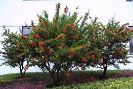 large pomegranate tree emerson landscape