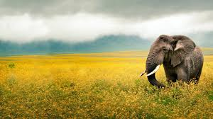 wallpaper full hd background elephant animal wallpapers images and collection