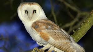 Barn Owl Sounds Barn Owl Norfolk Wildlife Trust