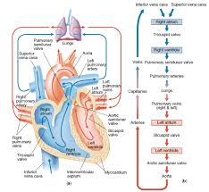 Diagram Heart Anatomy Blood Flow Of Heart Blood Flow Physiology Path Of Blood Flow