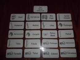 Human Anatomy Flashcards 20 Laminated Skeleton Flash Cards Learn About Our Bones