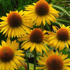 permaculture plants echinacea temperate climate permaculture