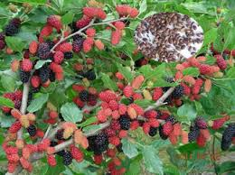 fruit tree seeds mulberry tree seeds for sale buy mulberry seeds