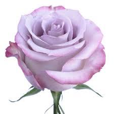 lavender roses lavender