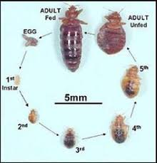 light bed bug infestation bedbugs