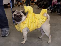 137 best pugs images on pinterest pug costume costumes and animals