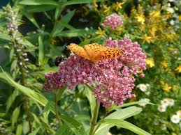 plants native to new england monarchs and milkweed creating a landscape in maine to support