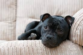 american pit bull terrier life expectancy staffordshire bull terrier dog breed information pictures