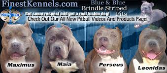 american pitbull terrier kennels in arizona colorado bite facts pitbull puppies with arizona videos for sale