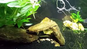 australian native aquatic plants planting temple plant in my gudgeon t bar cichlid tank again