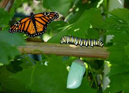 can a butterfly remember its as a caterpillar
