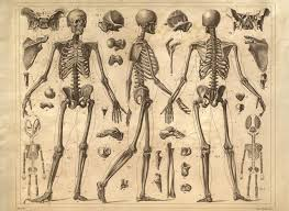 Human Anatomy Skeleton Diagram Vintage Anatomy Skeleton Diagram I Like Pinterest Skeletons