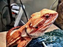 beardie doesn u0027t shed anymore doesn u0027t bright colors u2022 bearded