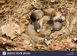 litter of newborn woodchucks in den marmota monax also known as