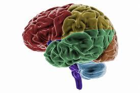 The Anatomy Of The Human Brain Occipital Lobes In The Cerebral Cortex