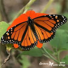 monarch butterflies caterpillars chrysalis pictures gardens