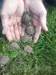 some baby snapping turtles that were found at the wild center