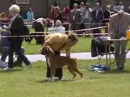boxer dog uk boxer dog show clip www newlaitheboxers co uk youtube