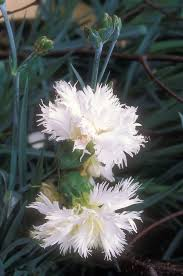 dianthus u0027mrs sinkins u0027 plant u0026 flower stock photography