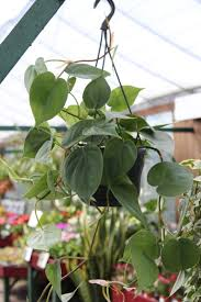 indoor plant philodendron scandens sweetheart plant in a 15cm