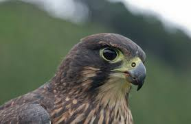 new zealand falcon kārearea new zealand native land birds