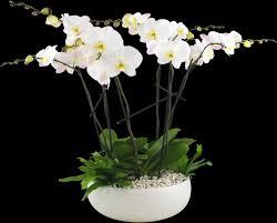 orchids flowers deluxe orchid planter floral arrangement winston flowers