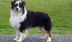 australian shepherd pomeranian mix australian shepherd breed information
